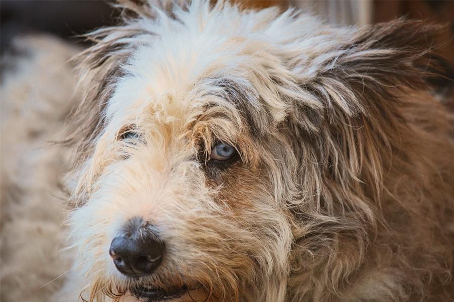 Race de chien d'Otterhound, photos, tempérament et caractéristiques