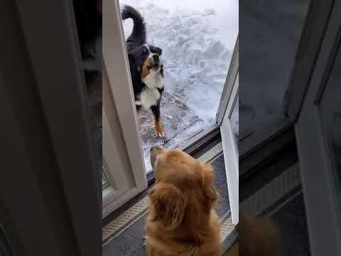 Un chien traîne un autre chien dehors pour jouer dans la neige !