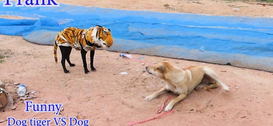 Fausse farce de chien tigré à chien très drôle
