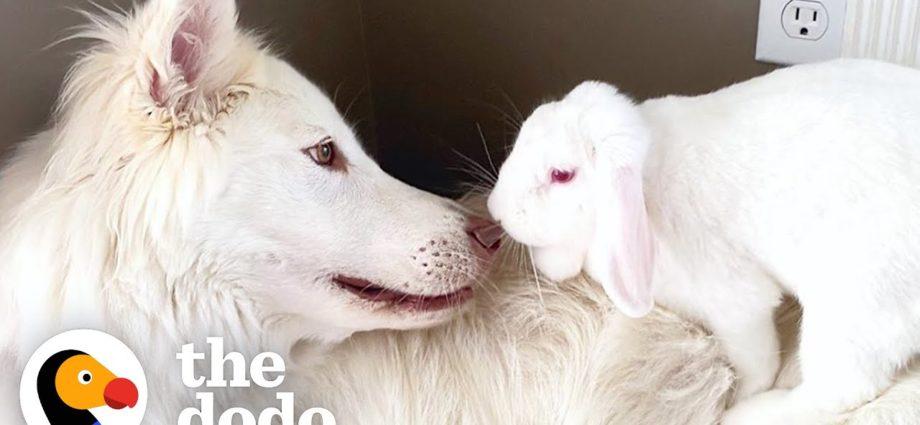 Un chien ne peut s'empêcher de sourire lorsqu'il reçoit un petit frère lapin | The Dodo Odd Couples