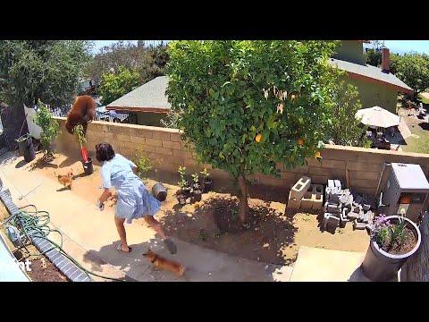 Une fille pousse un ours pour sauver ses chiens