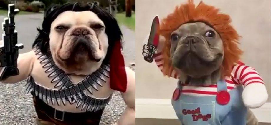 Vidéos de chiens super drôles #15   Chihuahua TV