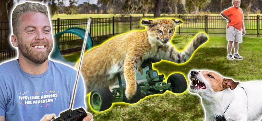 Un chat télécommandé au parc pour chiens !