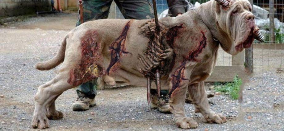 दुनिया के 12 सबसे ख़तरनाक कुत्ते जिसे पालने पर प्रतिबंध लग चुकी है | 12 races de chiens les plus illégales