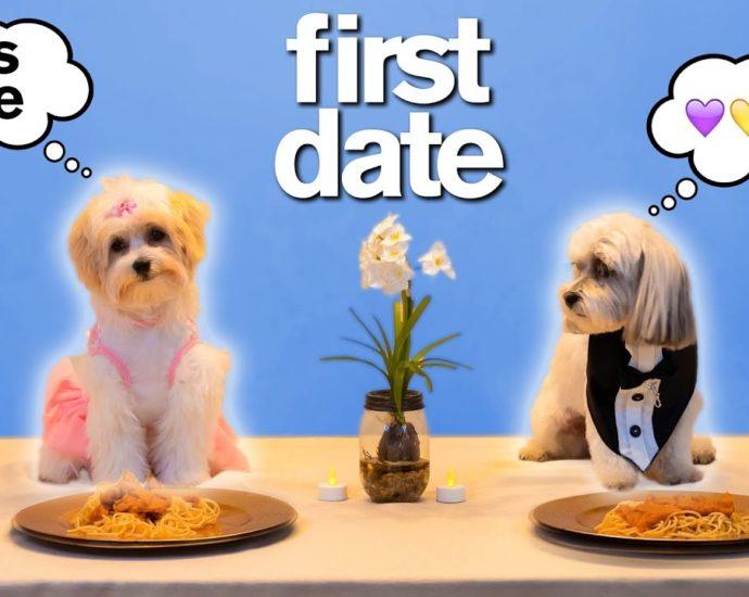 """Le premier rendez-vous de TINDER d'un adorable chien *essayez de ne pas dire """" Aww """" très amusant."""