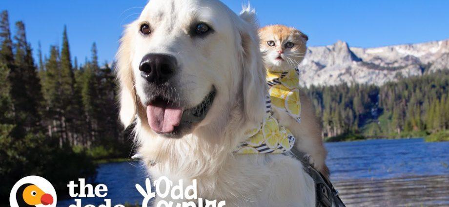 Un chien d'assistance n'était pas joueur - jusqu'à ce qu'il rencontre sa sœur chaton | The Dodo Odd Couples
