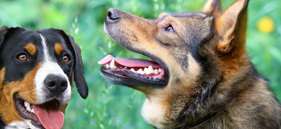 Som de Cachorro Latindo - Ouça o Som de Latidos de Cachorro - Vídeos d'animaux